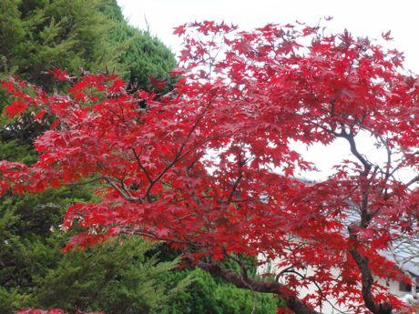 元料亭の庭の紅葉−2.jpg