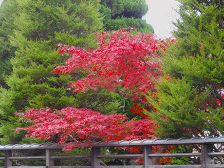 元料亭の庭の紅葉ー1.jpg