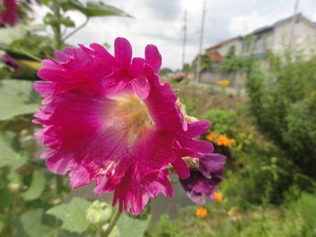 史跡東馬出し堀の花−5.jpg
