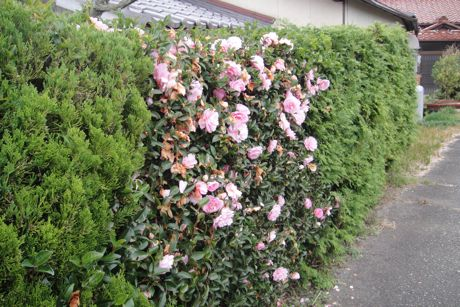 家の垣に咲いてました−2.jpg