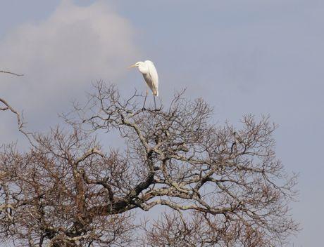 木上の白鷺.jpg
