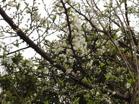 本社横の変わった桜−2.jpg
