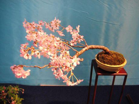 桜盆栽ー寒桜.jpg