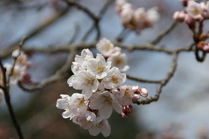 桜開き始め8/4/4/-1.jpg