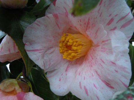 椿園の椿−4.jpg