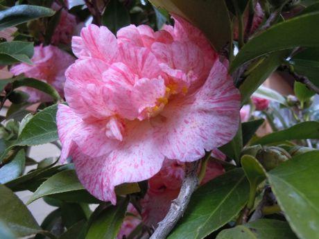 椿園の椿−5.jpg
