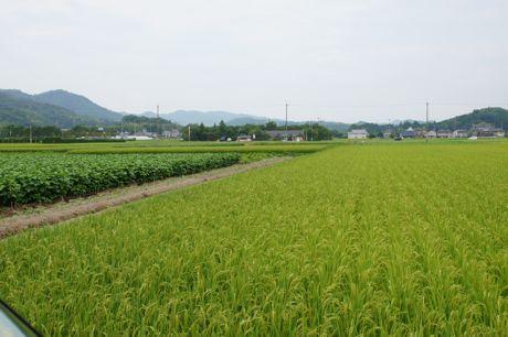 稲作と黒豆畑.jpg