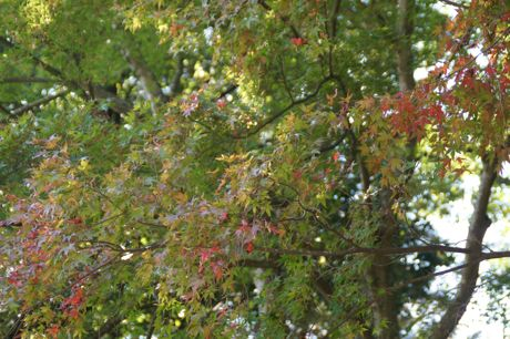 紅葉はまだ遠し−2.jpg