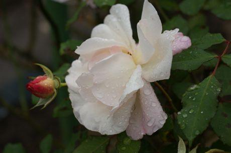 道端の雨後のバラ−2.jpg