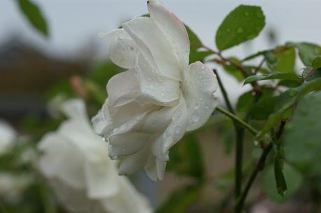 道端の雨後のバラ−3.jpg