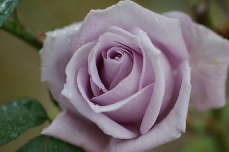 道端の雨後のバラ−5.jpg