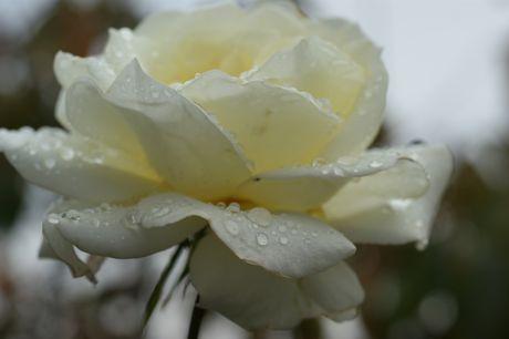 道端の雨後のバラ−6.jpg