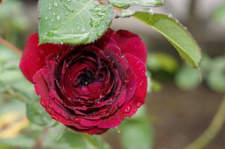 道端の雨後のバラ−7.jpg