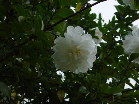 雨の山茶花.jpg