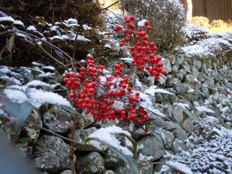 雪が残って、ナンテンが綺麗.jpg