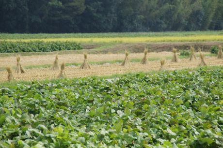 黒豆の畑と周辺.jpg