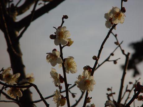 やっと見つけた梅の開花−2.jpg