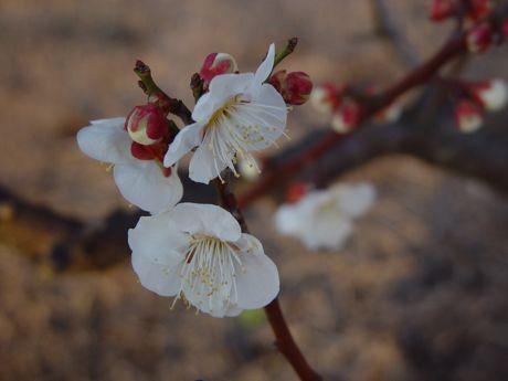 やっと見つけた梅の開花−3.jpg