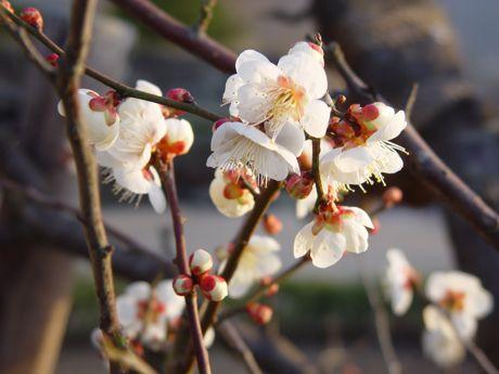やっと見つけた梅の開花−4.jpg