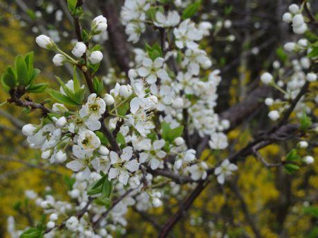 本社横の変わった桜−1.jpg