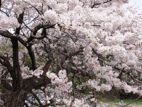 本社横の桜−2.jpg