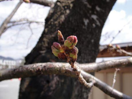 桜の蕾−3.jpg