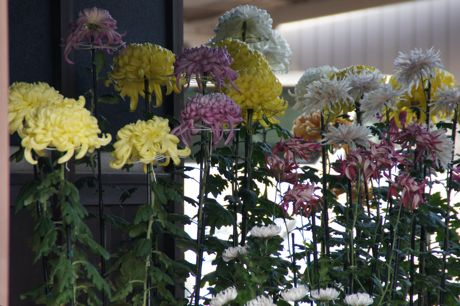 玄関に飾られた菊.jpg