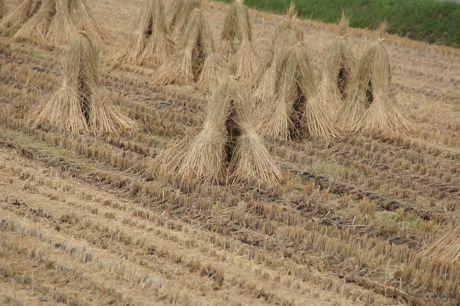 稲刈りの済は済んだ−1.jpg