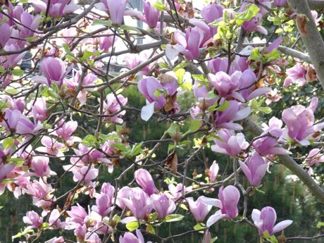 紫色の木蓮.jpg